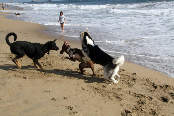 Snarl- This is what a snarl can look like when dogs are playing. This play is borderline too rough. Look at the dog on the far left, he looks concerned, it is showing caution.